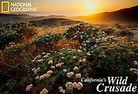 Sunset view of blooming Santa Cruz Island buckwheat (Eriogonum arborescens).  Endemic to Santa Cruz Island.  Channel Islands National Park.  Coastal sage scrub habitat, also called chaparrel.  Mediterrainan climate zone.