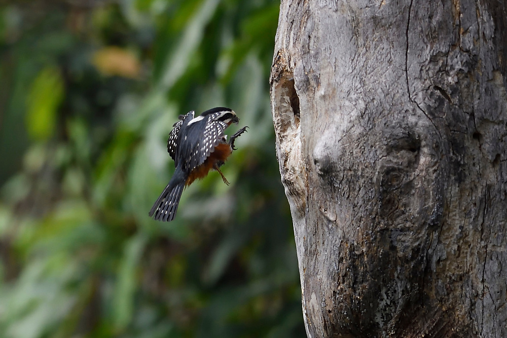 Pied Falconet, Microhierax melanoleucus, flying and close to landing on its nest in a tree at Hong Bung He, Dehong, Yunnan, China