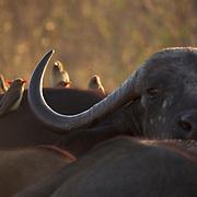 Cape Buffalo, Timbavati Game Reserve, South Africa.
