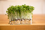 Close up of salad cress growing on wooden kitchen surface