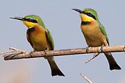 Little bee-eater (Merops pusillus), Chobe National Park, Botswana.
