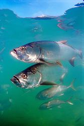 tarpons, Megalops atlanticus, and crevalle jacks, Caranx hippos, Islamorada, Florida Keys National Marine Sanctuary, Florida, USA, Atlantic Ocean