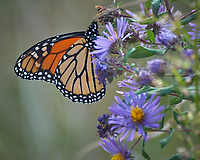 Monarch Butterfly Feeding on a Purple Wildflower. Image taken with a Nikon D2xs camera and 80-400 mm telephoto zoom lens (ISO 400, 400 mm, f/5.6, 1/180 sec).