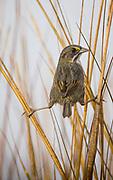 A seaside sparrow balances between stalks in a salt marsh.