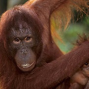 Orangutan, (Pongo pygmaeus) Portrait of mother and baby in rain forest, Northern Borneo.Malaysia. Controlled Conditons.