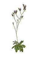 Tall Sea-lavender - Limonium procerum subsp. procerum