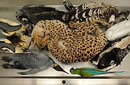 Frozen animals which have to be prepared. Cheetah ((Acinonyx jubatus), emperor penguin (Aptenodytes forsteri), king penguin (Aptenodytes patagonicus), Buffons macaw or great green macaw, snowy owl, harpy eagle (Harpia harpyja), Ruppell's Vulture (Gyps rueppellii), Duck (Anatidae), Crested screamer (Chauna torquata) on a dissecting table, Preparation department , Museum of natural History Berlin..Eingefrorene Tiere, die noch praepariert werden muessen. Gepard ((Acinonyx jubatus), Kaiserpinguin (Aptenodytes forsteri),  Koenigspinguin (Aptenodytes patagonicus),   Soldatenara, Schneeule, Harpyie (Harpia harpyja) , Sperbergeier (Gyps rueppellii), Ente (Anatidae), Halsbandtschaja (Chauna torquata) auf dem Seziertisch, Praeparationsabteilung, Museum fuer Naturkunde Berlin