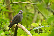 The dusky turtle dove (Streptopelia lugens) is a species of bird in the family Columbidae. It is found in Burundi, Democratic Republic of the Congo, Eritrea, Ethiopia, Kenya, Malawi, Rwanda, Saudi Arabia, Somalia, South Sudan, Tanzania, Uganda, Yemen, and Zambia. Photographed in Ethiopia