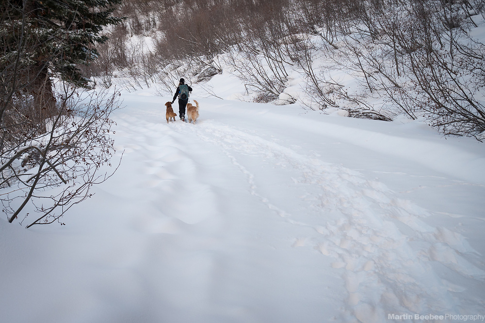 Woman snowshoeing with dogs (golden retrievers) in snow, Eldorado National Forest, California