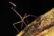 Preying Mantis<br /> Primary Rain Forest<br /> Iwokrama Reserve<br /> GUYANA. South America