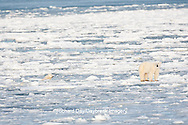 01874-12102 Polar Bear (Ursus maritimus) mother and cub jumping on ice in Hudson Bay  in Churchill Wildlife Management Area, Churchill, MB Canada