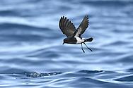 Black-bellied Storm-petrel - Fregetta tropica