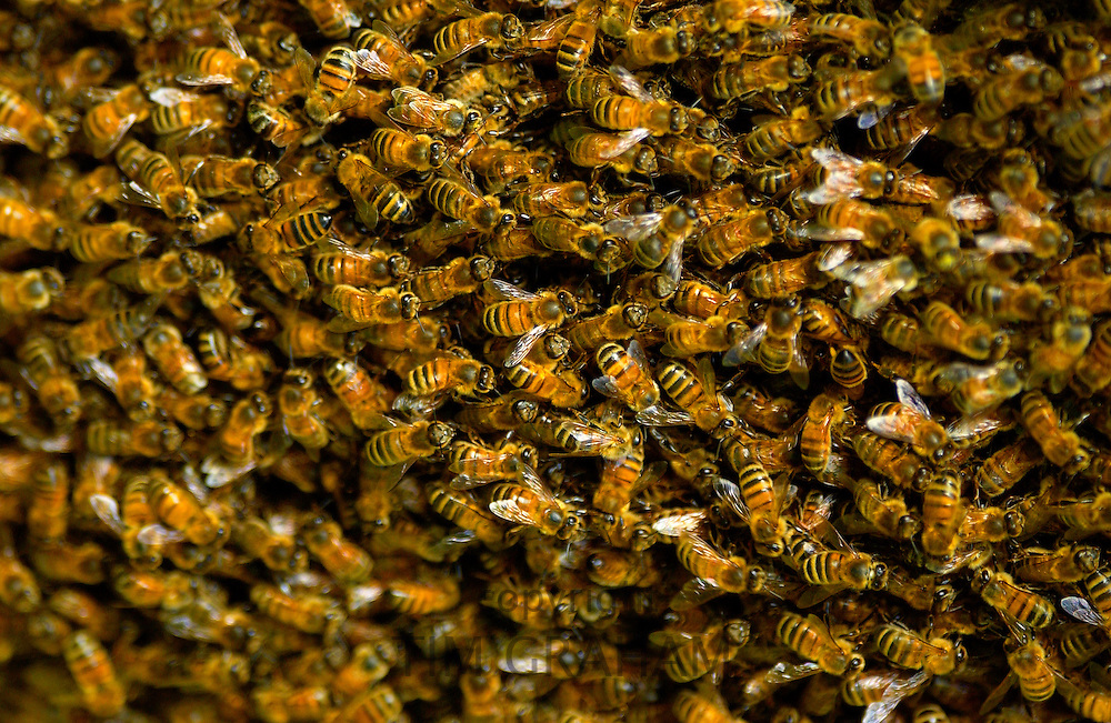 Swarm of Honey bees in England