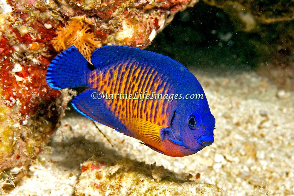 Twospined Angelfish inhabit reefs. Picture taken Fiji 2013.