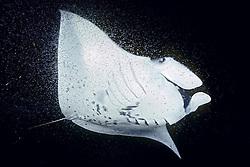 reef manta ray or coastal manta, Manta alfredi, feeding on plankton at night, Kona Coast, Big Island, Hawaii, Pacific Ocean