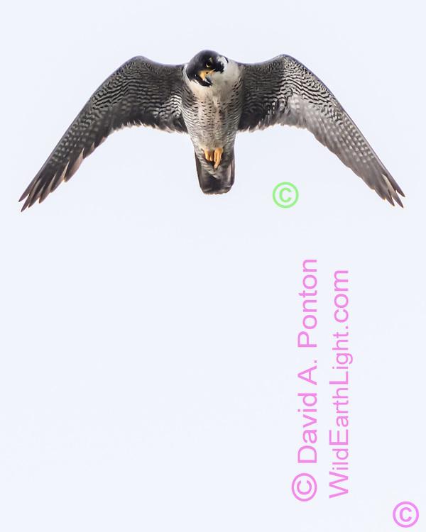 Peregrine falcon in hunting  flight looking down at potential prey, © David A. Ponton