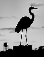 A silhouetted black and white photo of a blue heron sitting atop a pylon with large water tank in the background