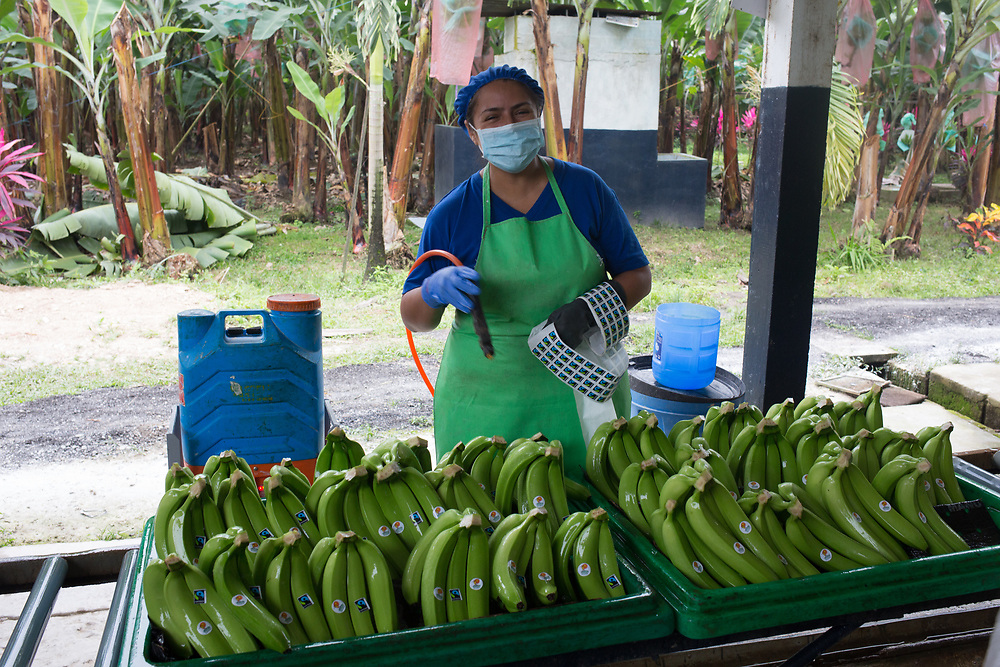 Labelling bananas at a packing station on an ASOGUABO farm in southern Ecuador.