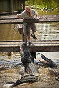 A trainer feeds American alligators (Alligator mississipiensis) at Alligator Adventure in Myrtle Beach, SC.