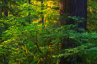 Warm late day light illuminating the rainforest, Hoh Rainforest, Olympic National Park, WA, USA