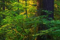 Warm late day light illuminating the rainforest, Hoh Rainforest, Olympic National Park, WA, USA