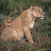 African Lion, (Panthera leo) Mother with cub. Masai Mara Game Reserve. Kenya. Africa.