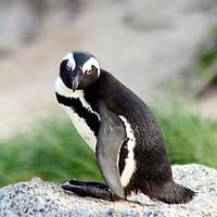 Africa, South Africa, Simons Town, Boulders Beach. African Penguin at Boulders Beach near Simons Town on False Bay.