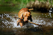 SHOT 7/27/05 3:27:34 PM - Tanner, a one year-old male Vizsla, plays with a stick in the river in Nederland, Co. The Vizsla is a dog breed originating in Hungary, which belongs under the FCI group 7. The Hungarian or Magyar Vizsla are sporting dogs and loyal companions, in addition to being the smallest of the all-round pointer-retriever breeds. (Photo by Marc Piscotty / © 2005)