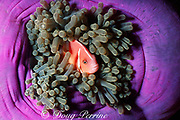 white-maned or pink anemonefish, Amphiprion perideraion, in magnificent sea anemone, Heteractis magnifica, Great Barrier Reef, Australia