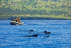 Logging pod of Short-finned pilot whales, Globicephala macrorhynchus, being approached by a commercial whale watching boat, off Kona, Big Island, Hawaii, USA, Pacific Ocean