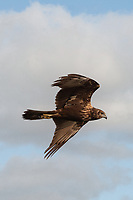 The eastern marsh harrier (Circus spilonotus) is a bird of prey belonging to the marsh harrier group of harriers. It was previously considered to be conspecific with the western marsh harrier (Circus aeruginosus) but is now usually classified as a separate species.