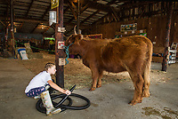 "Olivia Nason gives her Scotish Highlander ""Star"" a blow dry on Saturday afternoon during the 4H Fair at the Belmont Fairgrounds.  (Karen Bobotas/for the Laconia Daily Sun)"
