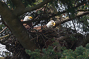 A bald eagle (Haliaeetus leucocephalus) regurgitates food for its two young eaglets, which are hidden behind the wall of the nest in Kirkland, Washington. Both bald eagle parents take turns protecting and feeding the eaglets.
