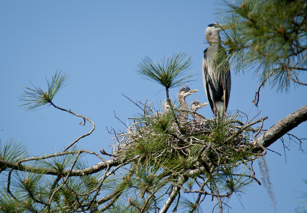 A great blue heron tends its young in its meager nest in a tall pine perched on a hummock in the May River.