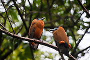 Capuchinbird or Calfbird (Perissocephalus tricolor)<br />