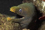 Panamic Green Moray Eel with open mouth showing teeth.(Gymnothorax castaneus).Gulf of California, Mexico
