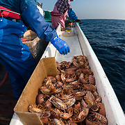 Hasegawa father and son team bringing up and sorting through giant isopods (Bathynomus doederleinii) from deep water in Suruga Bay, Japan. The traps for these isopods were set in the 300m to 400m depth range. The isopods are used for making food like senbei rice crackers, and some are sent to aquaria for display.