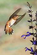 Rufous Hummingbird, Selasphorus rufus, Flying at Salvia flower, Salvia guaranitica,  Birds. animals. wildlife. birds. hummingbird Sunset New Mexico United States flight high speed photographic technique