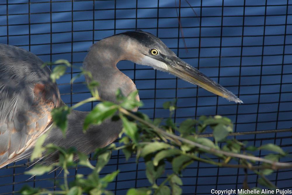 Great Blue Heron in Wildlife Rehab
