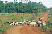CATTLE RANCHING DEFORESTATION, Amazon, near Boavista, northern Brazil, South America. Primary rainforest is destroyed by campesinos slash and burn practice and then when no longer fertile sold for pennies for cattle ranching. It will soon be desert. Ecological biosphere and fragile ecosystem where flora and fauna, and native lifestyles are threatened by progress and development. The rainforest is home to many plants and animals who are endangered or facing extinction. This region is home to indigenous primitive and tribal peoples including the Yanomami and Macuxi.