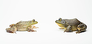 A female (left) and male American bullfrog (Lithobates catesbeianus) - an invasive species in the western North America.