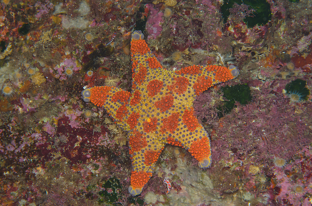 Firebrick Starfish, Asterodiscides truncatus,