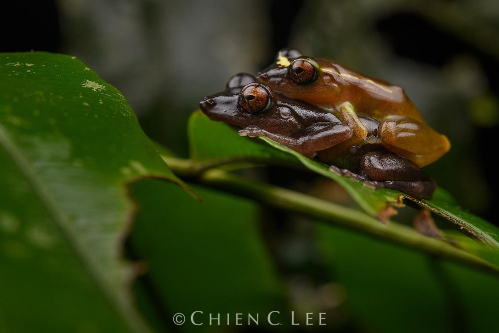 Gold-banded Rain Frog (Pristimantis aureolineatus), pair in amplexus. Yasuní National Park, Ecuador.