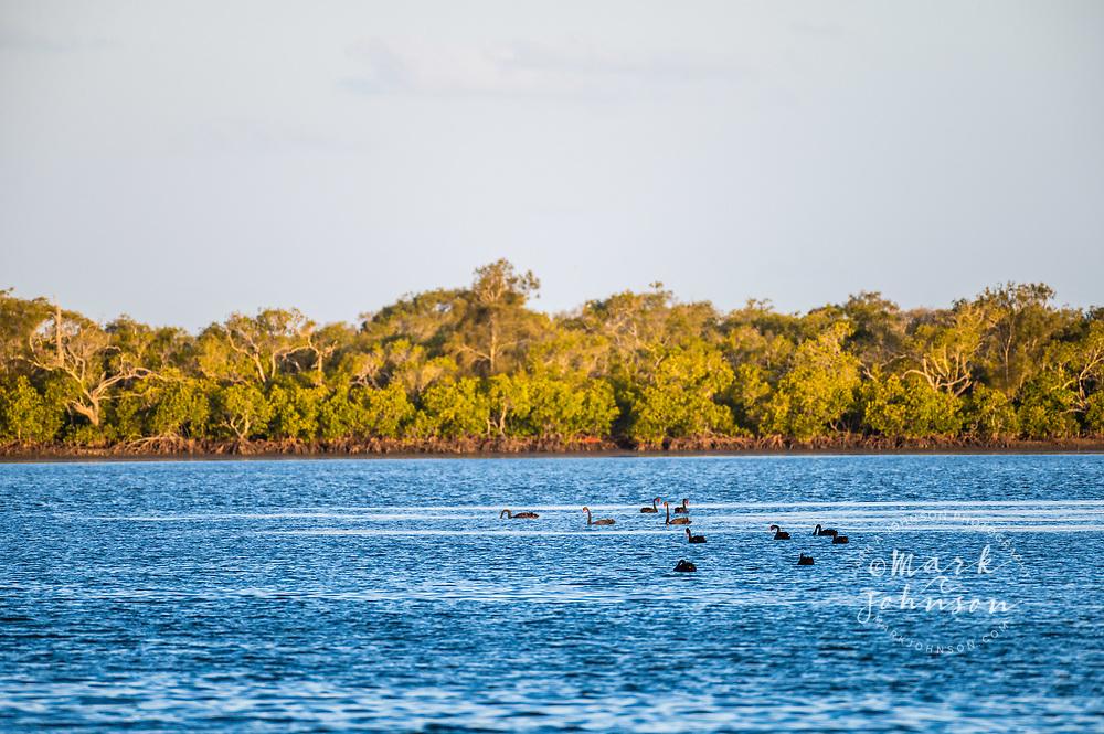 Black Swans, Pumicestone Passage, Caloundra, Sunshine Coast, Queensland, Australia
