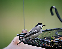 Black-capped Chickadee. Image taken with a Nikon D5 camera and 600 mm f/4 VR lens (ISO 1600, 600 mm, f/5.6, 1/1000 sec)