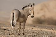 African wild ass (Equus africanus), Photographed in the Arava desert, israel
