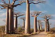 Avenue of the Baobabs, near Morondava, Madagascar