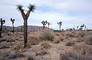 scenic photo of cactus Joshua Tree National Park