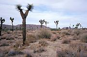 scenic photo of cactus Joshua Tree National Park