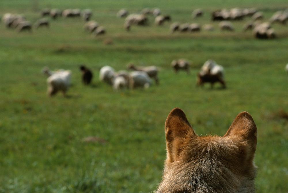 Dinner time?... European Wolf (Canis lupus) looking at sheep, Transsylvania, Romania, captive